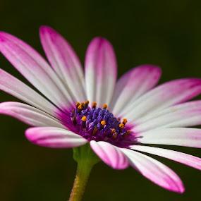 A splash of Purple by Adéle van Schalkwyk - Flowers Single Flower ( isolated, flowe, nature, purple, green, white, pink )