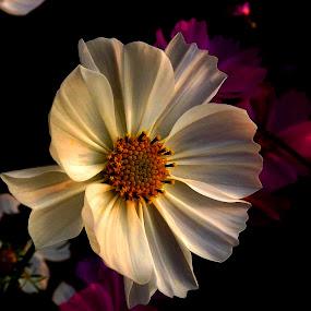 by Chandradeep Ghosh - Flowers Single Flower (  )