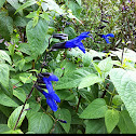Black and blue salvia