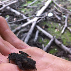 American Toad (juvenile)