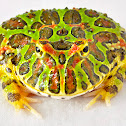 Pacman frog