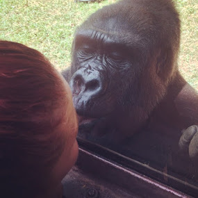 gorilla kisses by Victoria Loos - Animals Other Mammals
