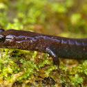 Del Norte Salamander
