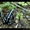 Anthony's Poison Arrow Frog