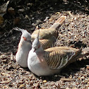 Crested Pigeons (mated pair)