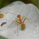 weaver ant colony nest