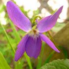 Viola sp