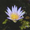Ninféia azul, Lírio d'água azul (Blue Egyptian water lily)