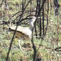 Bush Turkey or Australian Bustard