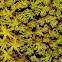 Side-fruited Crisp-moss