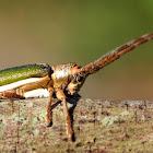 Green Longicorn Beetle