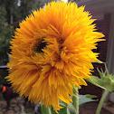 Sunflower 'Golden Honey Bear'
