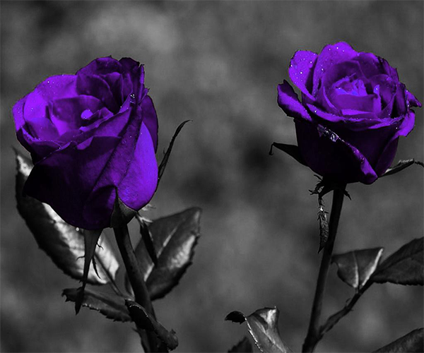 purple rose live wallpaper  android apps on google play, Beautiful flower