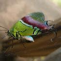 Regal Hairstreak Butterfly