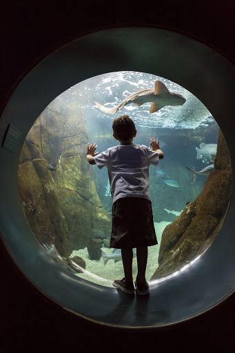 "boy-shark-exhibit-Waikiki - A boy watches a shark in a ""Hunters of the Reef"" exhibit in Waikiki."