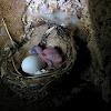 Cave swiftlet hatchling