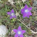 Purple  Epirus campanula