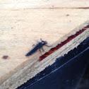 Lady bug/ lady bird larvae