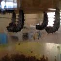 Caterpillars in chrysalis's