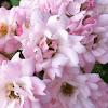 "Rose ""Tea Fairy"""