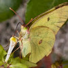 Clouded Sulphur Butterfly - Colias philodice