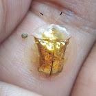 Golden Tortoise Shell Beetle