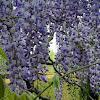 Wisteria floribunda (Glicinia lila)