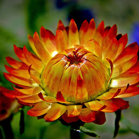 by Indroneel Mukerji - Flowers Single Flower