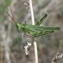 Green Fool Grasshopper
