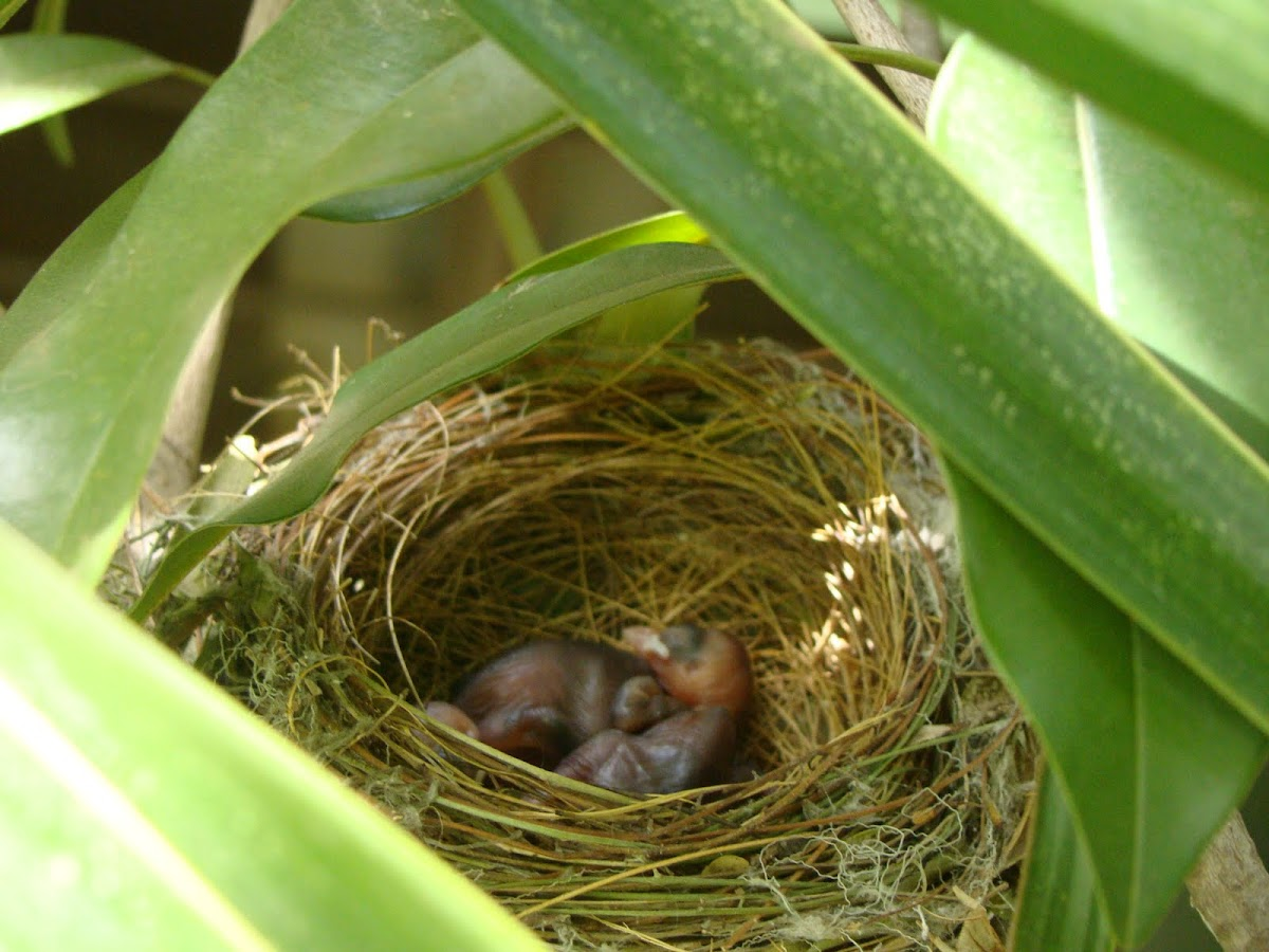 Red-vented Bulbul chicks