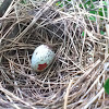 Northern Cardinal nest