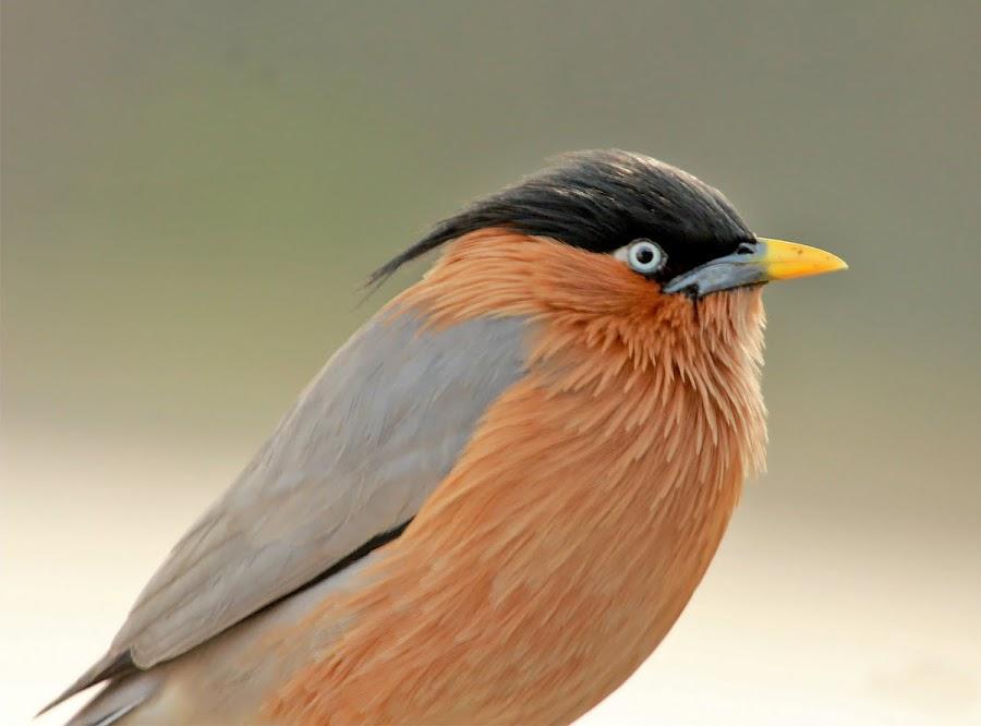 Brahmini Starling by Mukesh Chand Garg - Animals Birds (  )