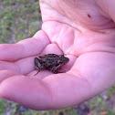 Florida Cricket Frog