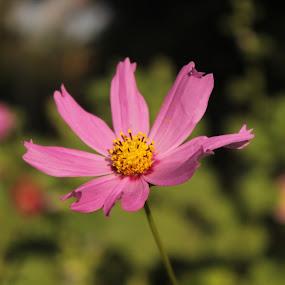 Pink Flower by Megh Shah - Flowers Single Flower ( pink flower is looking great,  )