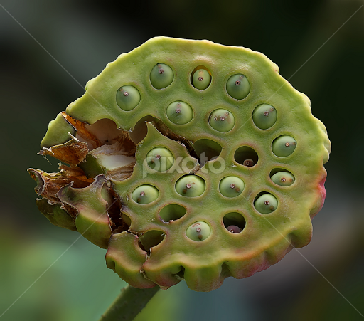 Seed Pod Of A Lotus Flower Gardens Produce Nature Up Close
