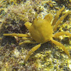 Northern Kelp Crab