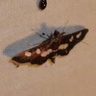 Desmia Moth