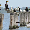 Cormorant (and friends)