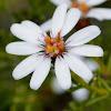 Hairy Daisy-bush