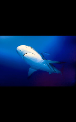 White Shark Live Wallpaper