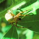 Grass spider?