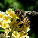 Mason or potter bee/ Abeja alfarera.