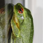 Dainty Tree Frog