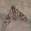 Pink-spotted Hawk Moth