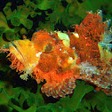 Reef Scorpionfish.