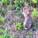 Eastern Cottontail Rabbit