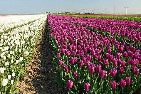 Holland Tulips HD Wallpaper