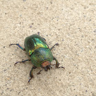 Golden Stag Beetle (female)