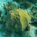 Montastraea coral
