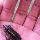 Pickerel Frog (juvenile)